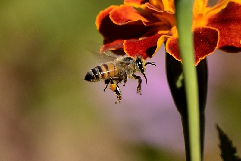 bee-sting-honey-bee-wings-honey-bees-insect.jpg